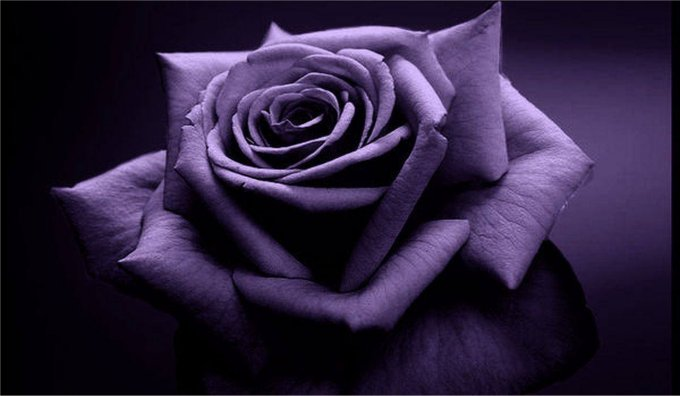 Promise of unending love, purple flower